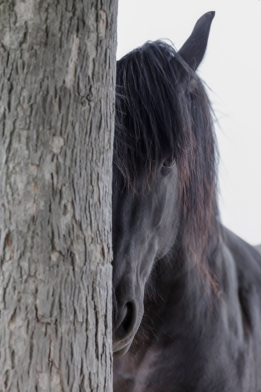 Friesian atları