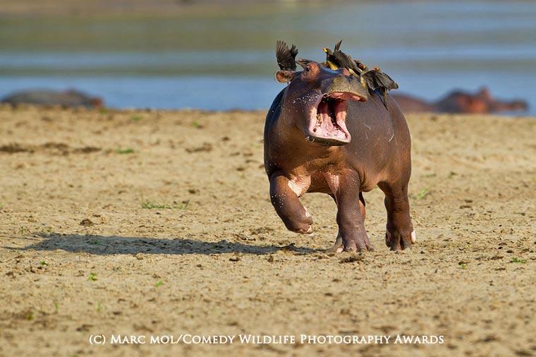 En komik Yaban Hayvanlar