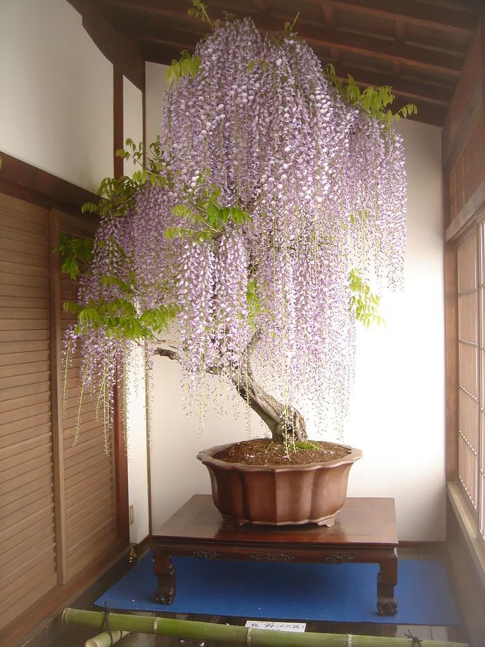 Bonsai Ağaçları 1