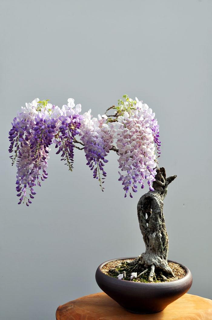 Bonsai Ağaçları 11