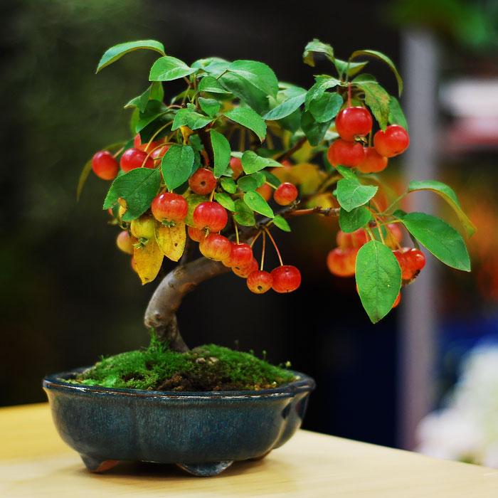 Bonsai Ağaçları 12
