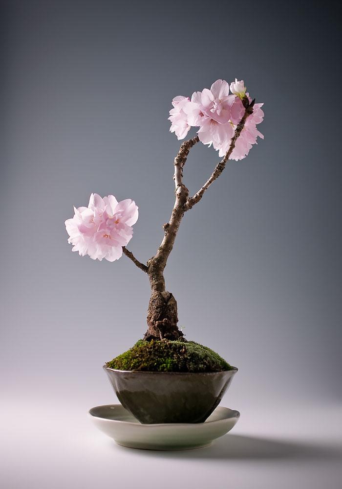 Bonsai Ağaçları 13