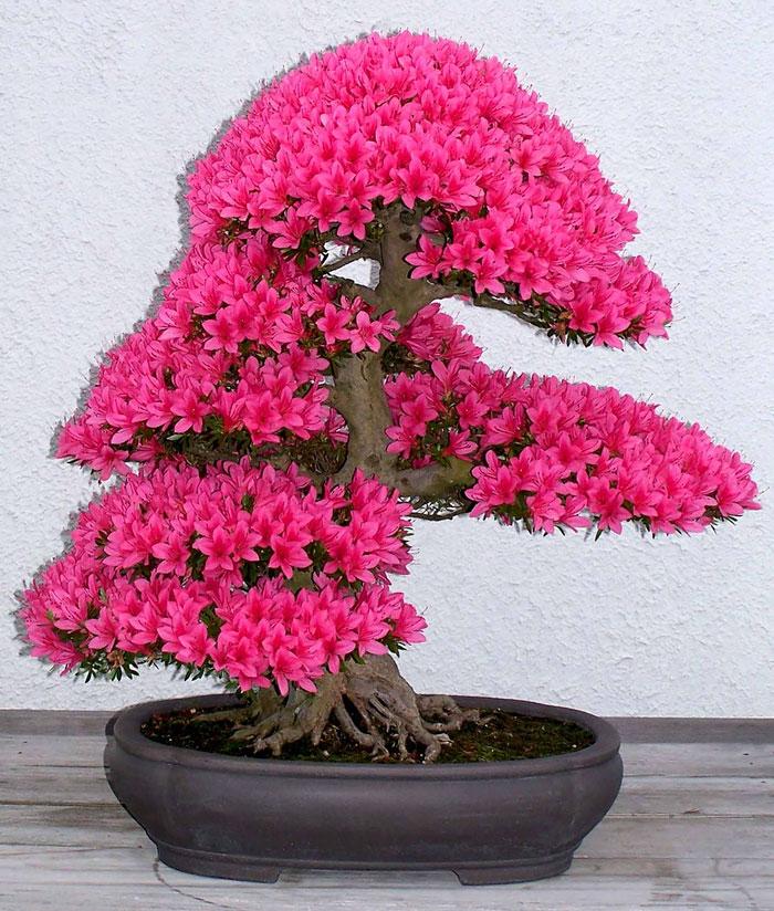 Bonsai Ağaçları 14