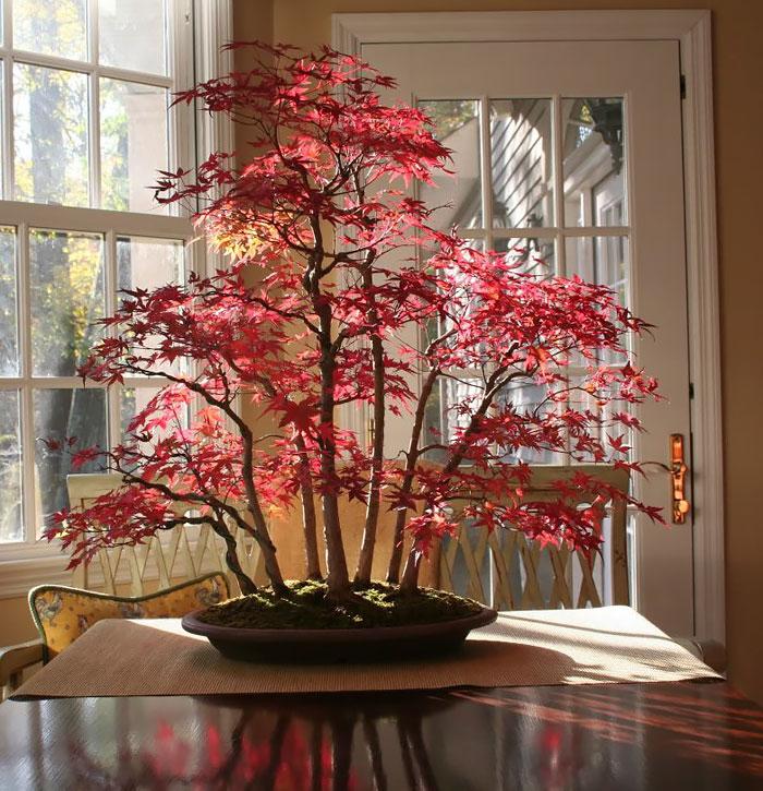 Bonsai Ağaçları 2
