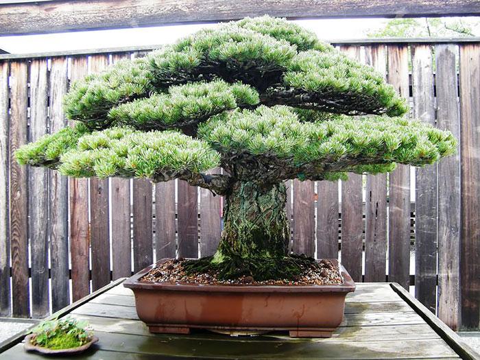 Bonsai Ağaçları 3
