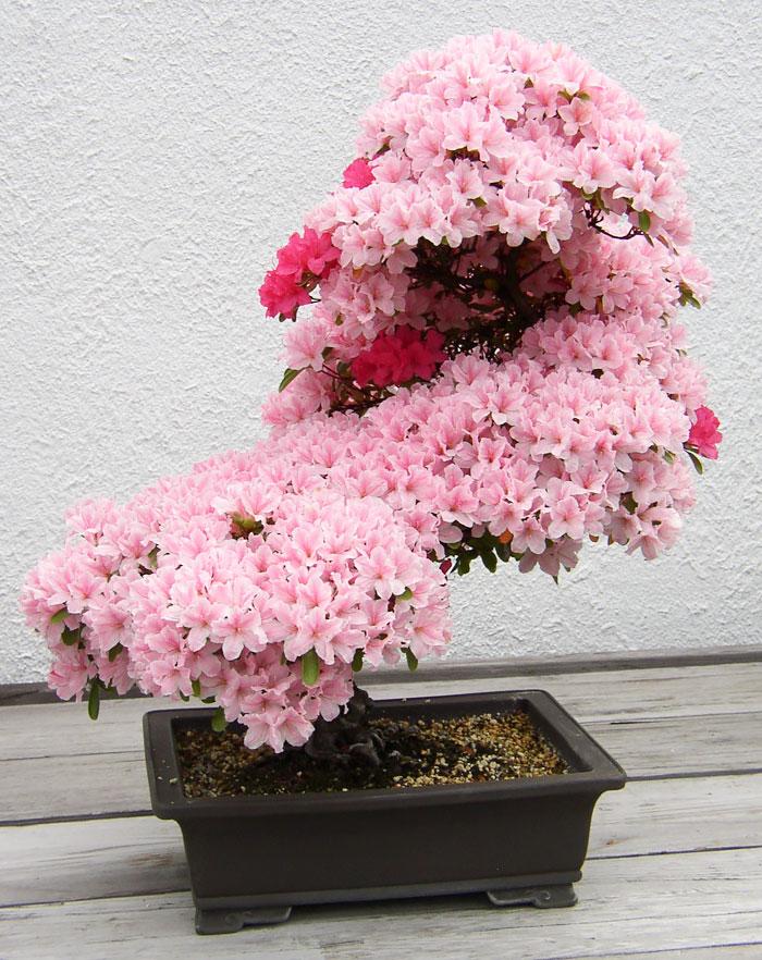 Bonsai Ağaçları 4
