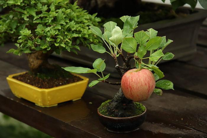 Bonsai Ağaçları 5
