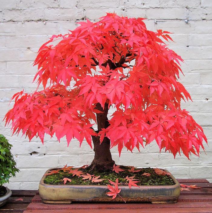 Bonsai Ağaçları 6