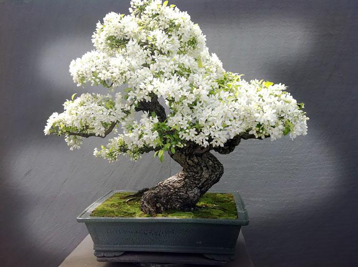 Bonsai Ağaçları 7