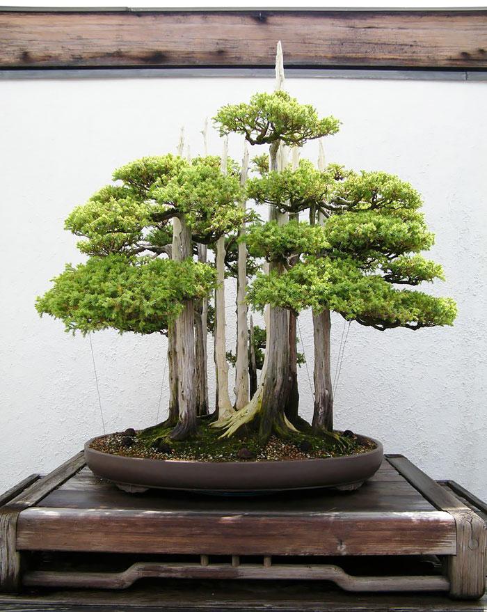 Bonsai Ağaçları 9