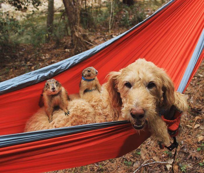 Çayır köpekleri Bing ve Swarley 1