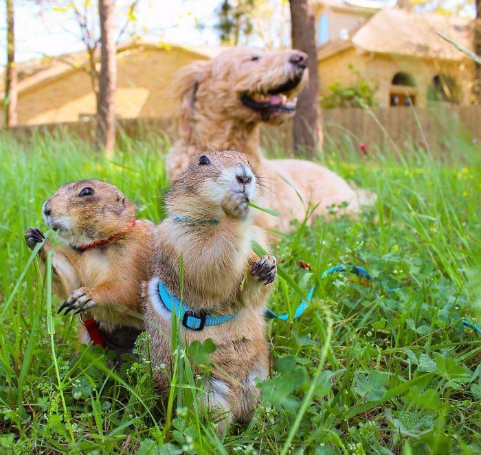 Çayır köpekleri Bing ve Swarley 6