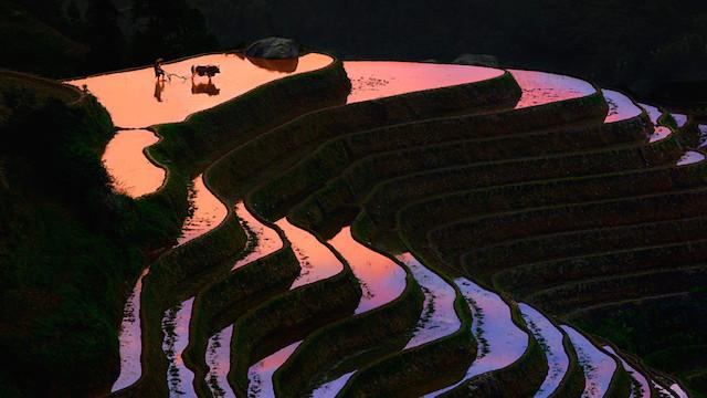 Çin Pirinç Tarlaları