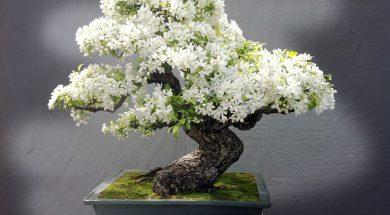 bonsai-agaclari-7