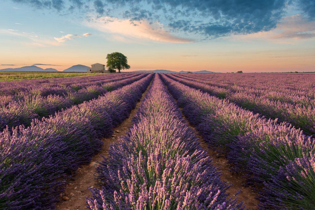 Lavanta Tarlası, Fransa