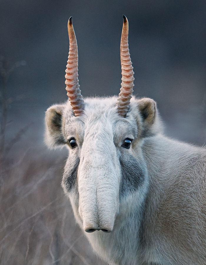 Saiga Antilopu