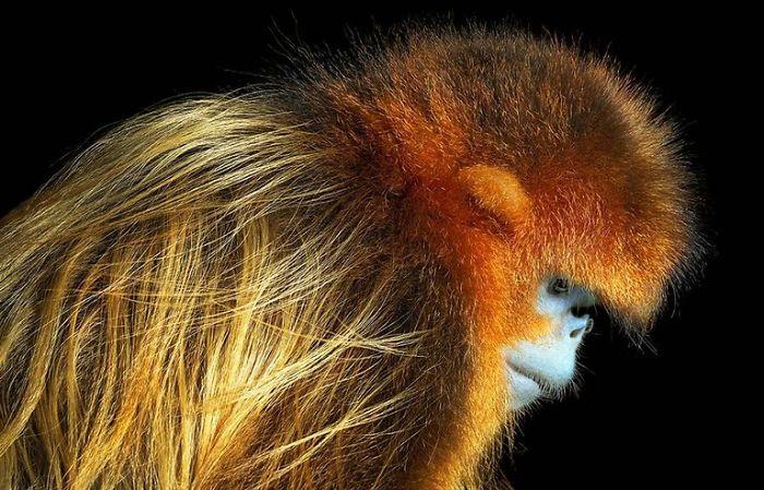 Altın Maymun