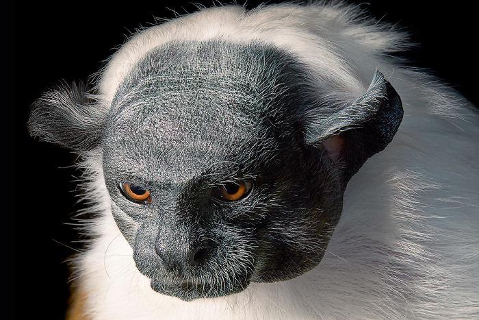 Alaca İpek Maymunu