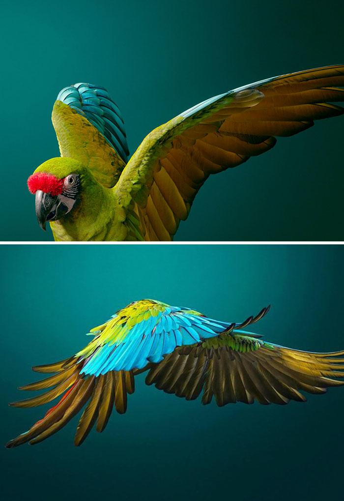 Amerika Papağanı
