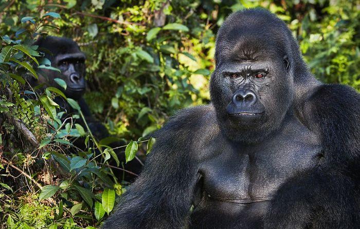 Batı Afrika Düzlük Gorili