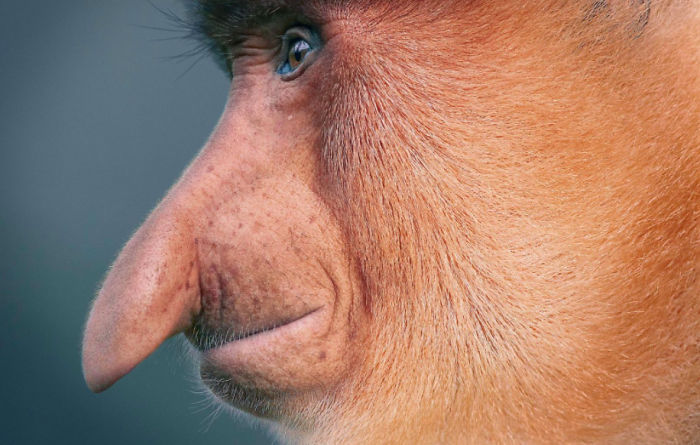 Uzun Burunlu Maymun