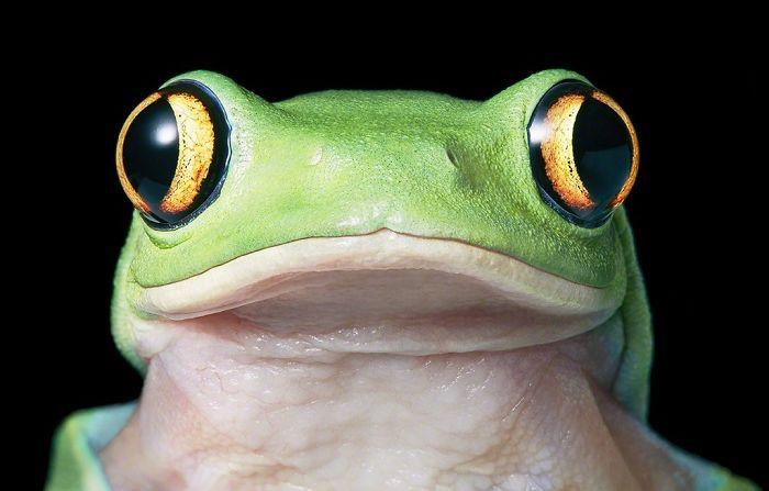Sarı Gözlü Ağaç Kurbağası