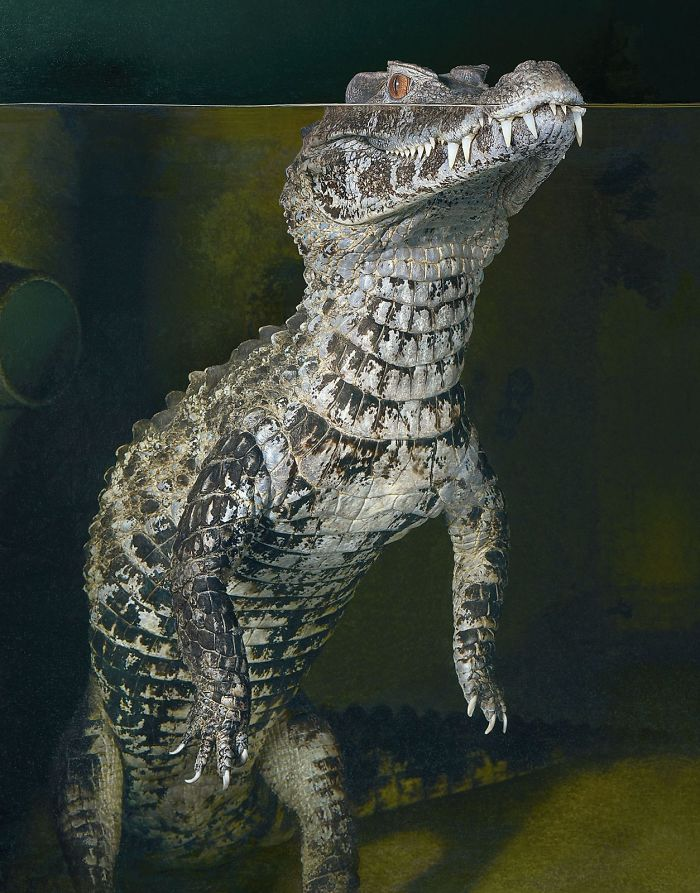 Smooth Fronted Caiman