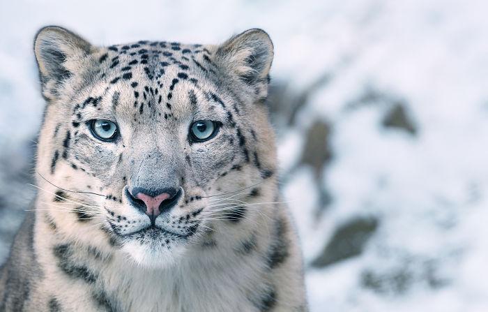 Kar Leoparı