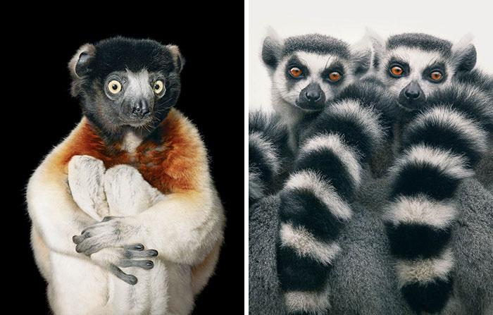 Halka Kuyruklu Lemur